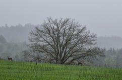 Cervi in nebbia, baia di Cades, Great Smoky Mountains Immagini Stock Libere da Diritti