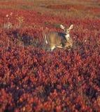 Cervi nel campo di colore rosso Fotografia Stock Libera da Diritti