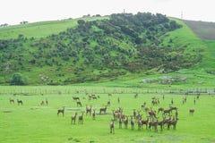 Cervi nel campo verde alla collina in Nuova Zelanda immagine stock libera da diritti