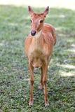 Cervi nel giardino zoologico aperto Immagine Stock
