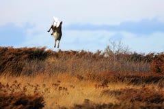 Cervi nel modo di volo fotografia stock libera da diritti