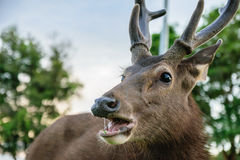 Cervi nel parco di Khao Yai Fotografie Stock Libere da Diritti