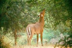 Cervi nel parco naturale del indiya Fotografie Stock