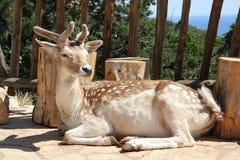 Cervi nel parco naturale di Zacinto Askos Fotografie Stock Libere da Diritti