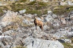 Cervi nel parco nazionale di Picos de Europa, Cantabria, Spagna immagini stock libere da diritti