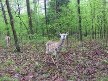 Cervi nell'area leggermente boscosa che mangiano le foglie come altri stanno vicino fotografia stock