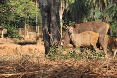 Cervi nell'Assam India immagine stock libera da diritti