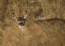 Cervi nell'erba Fotografia Stock
