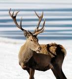 Cervi nell'inverno Immagini Stock