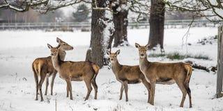 Cervi nell'inverno Fotografia Stock