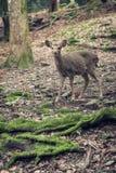 Cervi nella foresta Immagini Stock Libere da Diritti