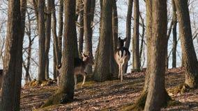 Cervi nella foresta stock footage