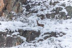 Cervi nella neve Fotografie Stock