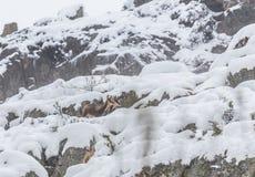 Cervi nella neve Fotografia Stock Libera da Diritti
