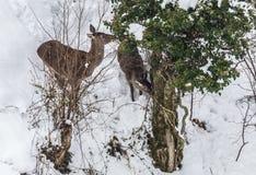 Cervi nella neve Fotografia Stock