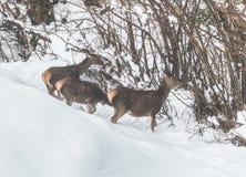 Cervi nella neve Immagine Stock