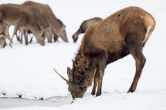 Cervi nella neve Il cervo beve l'acqua Fotografia Stock