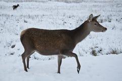 Cervi nella neve nel coe della valletta Fotografia Stock