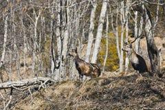 Cervi nella riserva Alpi austriache Fotografie Stock