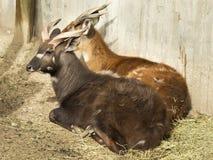 Cervi nello zoo fotografia stock libera da diritti