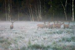 Cervi nobili e parecchio daina sul campo in un primo mattino nebbioso Immagine Stock Libera da Diritti