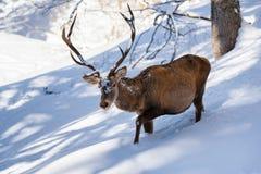 Cervi nobili maschii che vengono nella neve profonda Fotografie Stock Libere da Diritti