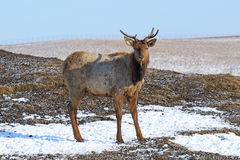 Cervi nobili nel pomeriggio di inverno Fotografia Stock Libera da Diritti