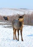 Cervi nobili nell'inverno Immagini Stock Libere da Diritti