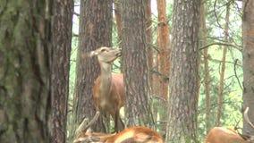 Cervi nobili nella foresta stock footage