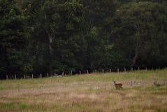 Cervi nobili posteriori in terreno coltivabile negli altopiani scozzesi Immagine Stock
