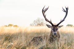 Cervi nobili in Richmond Park fotografia stock