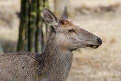 Cervi nobili, sibiricus maral di cervus elaphus di Altai Fotografia Stock Libera da Diritti