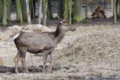 Cervi nobili, sibiricus maral di cervus elaphus di Altai Immagini Stock Libere da Diritti