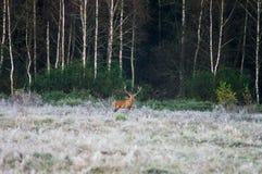 Cervi nobili sul campo presto in una mattina nebbiosa durante la carreggiata B immagini stock