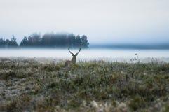 Cervi nobili sul campo presto in una mattina nebbiosa durante la carreggiata B Fotografia Stock Libera da Diritti