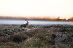 Cervi nobili sul campo presto in una mattina nebbiosa durante la carreggiata B Fotografie Stock