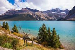 Cervi nobili sulla banca del lago azzurrato Immagini Stock