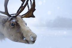 Cervi nordici di Natale Fotografia Stock