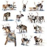 Cervi nordici su neve Fotografia Stock