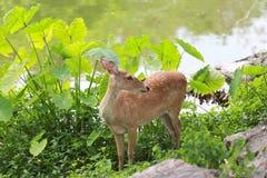 Cervi o giovane animale del cervo maschio nella foresta Fotografia Stock Libera da Diritti