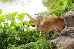 Cervi o giovane animale del cervo maschio nella foresta Immagine Stock