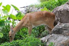 Cervi o giovane animale del cervo maschio nella foresta Fotografia Stock