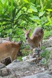 Cervi o giovane animale del cervo maschio nella foresta Fotografie Stock Libere da Diritti
