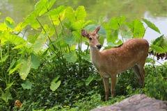 Cervi o giovane animale del cervo maschio nella foresta Immagini Stock