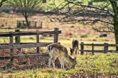 Cervi in parco inglese Fotografia Stock