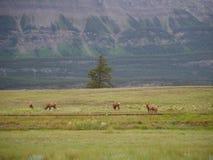 Cervi in parco nazionale fotografie stock libere da diritti