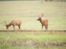 Cervi in parco nazionale fotografia stock