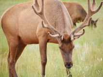 Cervi in parco nazionale fotografia stock libera da diritti