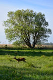 Cervi, prato, albero, bluesky fotografie stock