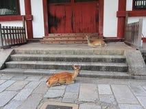 Cervi protettivi a Nara, Giappone Fotografia Stock